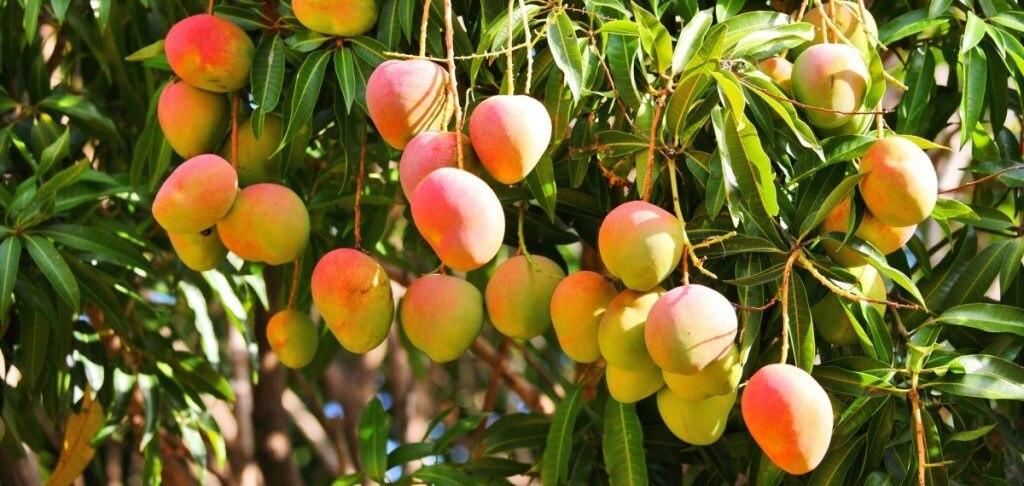 mango-4